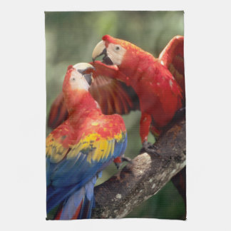 Amazon, Brazil. Pair of Scarlet Macaws (Ara Tea Towel
