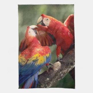 Amazon, Brazil. Pair of Scarlet Macaws (Ara Tea Towel