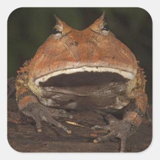 Amazon Horned Frog Ceratophrys cornuta). Square Sticker
