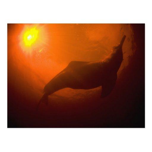 Amazon River Dolphins or Botos (Inia Postcard