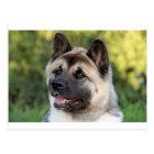 American Akita Dog Postcard