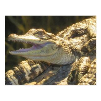American Alligator Mouth Open Postcard