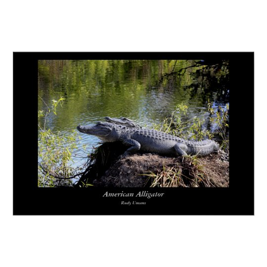 American Alligator Pair Poster