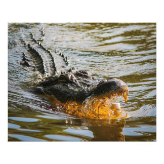 American alligator photo print