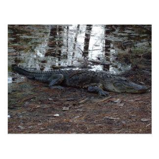 American Alligator Postcard