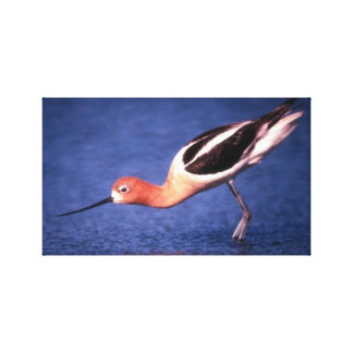 American Avocet In Breeding Plumage Gallery Wrapped Canvas