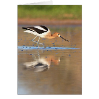 American Avocet in the ponds Card