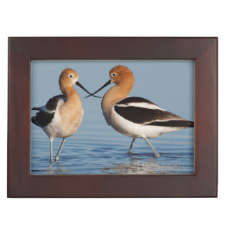 American Avocet Pair Keepsake Box