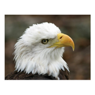 American Bald Eagle 2 Postcard
