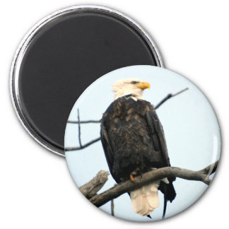 American Bald Eagle Magnet
