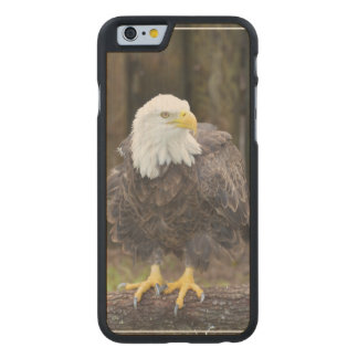 American Bald Eagle Perched on a Log Carved® Maple iPhone 6 Slim Case