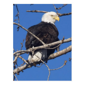 American Bald Eagle Postcard