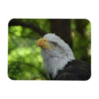American Bald Eagle Premium Magnet Rectangle Magnets