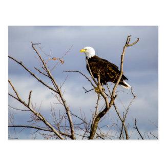 American Bald Eagle V Postcard
