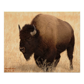 American Bison 1 Posters