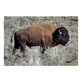 American bison (bison bison) graze in the Lamar Poster