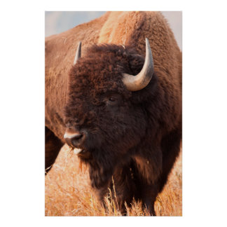 American Bison (Bison Bison) Herd In Teton Posters