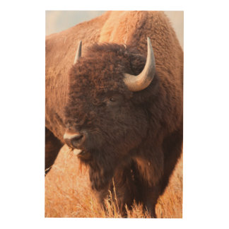 American Bison (Bison Bison) Herd In Teton Wood Wall Art