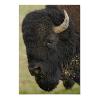 American Bison Buffalo Bison bison male Print