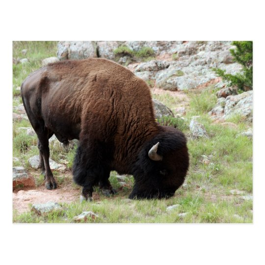 American Bison Grazing Postcard