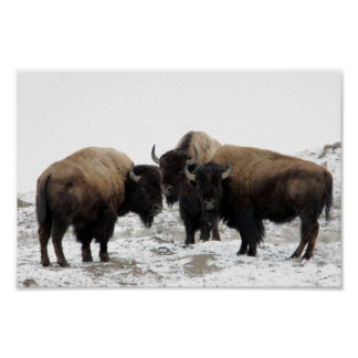 American Bison in Winter Print