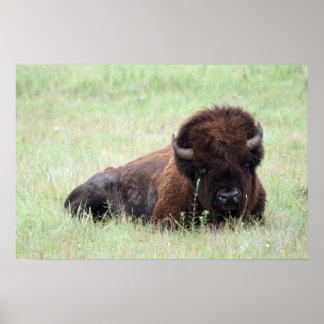 American Bison Lying Down Print