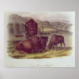 American Bison or Buffalo Print
