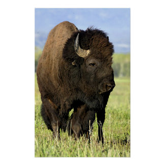 American Bison Portrait Poster Print