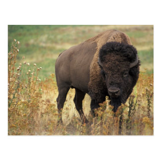 American Bison Postcard