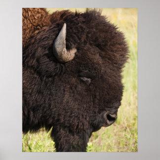 American Bison, South Dakota Poster