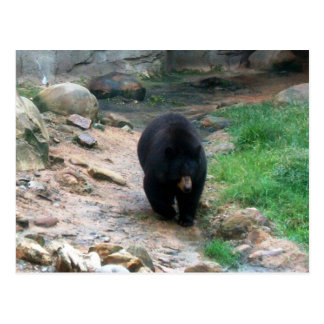 American Black Bear Post Card