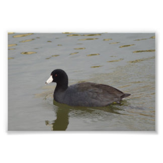 American Coot Photo Print