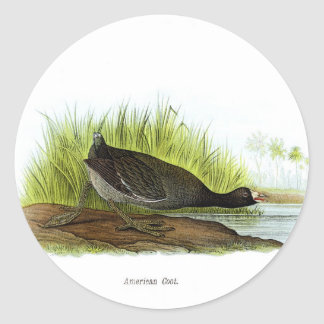 American Coot Stickers