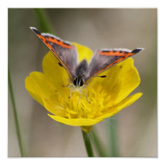 American Copper Butterfly Print