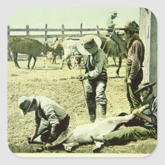 American cowboys branding a calf, c.1900 (photo) square sticker