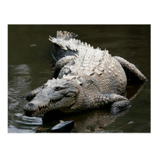 American crocodile (Crocodylus acutus) Postcard