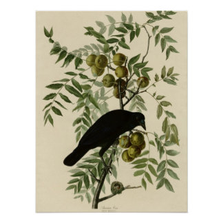 American Crow Poster