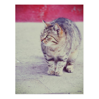 American Curl Cat Venice Italy Europe Postcard