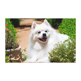 American Eskimo dog lying on garden path Canvas Print