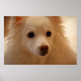American Eskimo Dog Portrait Posters
