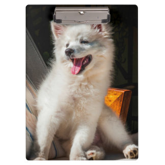 American Eskimo puppy sitting on a lawn chair Clipboards