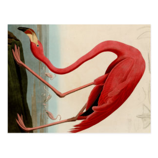 American Flamingo by Audubon Postcard