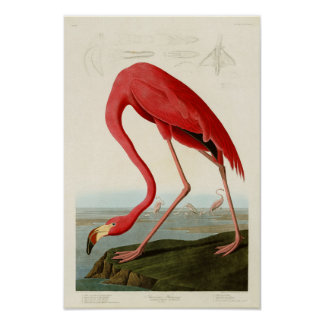 American Flamingo John Audubon Birds of America Poster