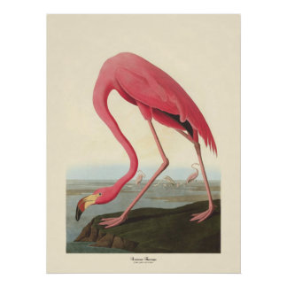 American Flamingo | John James Audubon Poster