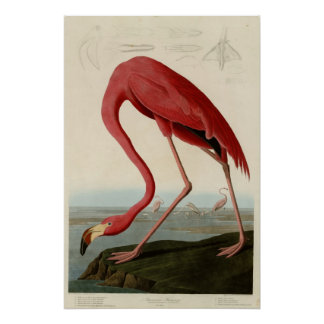 American Flamingo Perfect Poster