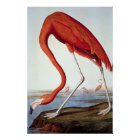 American Flamingo - Wildlife by John Audubon Poster