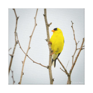 American Goldfinch Stretched Canvas Prints