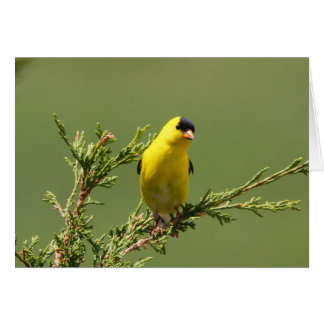 American Goldfinch Card