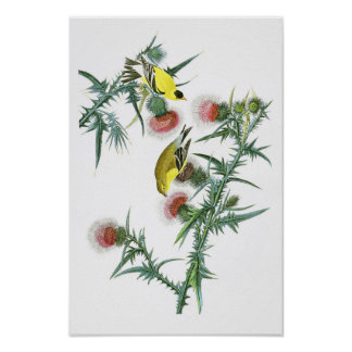American Goldfinch John Audubon Birds of America Poster