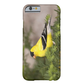 American Goldfinch male in a tree Barely There iPhone 6 Case